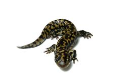 Tiger Salamander (Ambystoma tigrinum) Royalty Free Stock Photo