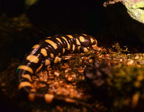 Tiger salamander Royalty Free Stock Images
