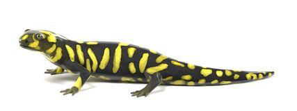 Tiger salamander. 3d render of tiger salamander Royalty Free Stock Photography