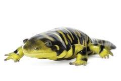 Tiger Salamander Royalty Free Stock Photo