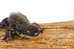 Tiger Salamander Portrait Photos libres de droits