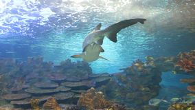 Tiger san shark. Fishes underwater. Exotic fishes in tropical ocean. Underwater picture. Tiger sand shark in turkuazoo aquarium in Istanbul. Shark with big jaws stock video