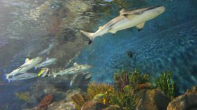 Tiger san shark. Fishes underwater. Exotic fishes in tropical ocean. Underwater picture. Tiger sand shark in turkuazoo aquarium in Istanbul. Shark with big jaws stock footage