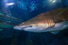 Tiger san shark. Tiger sand shark in turkuazoo aquarium in Istanbul. Shark with big jaws in ocean royalty free stock image