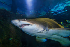 Tiger san shark Stock Images