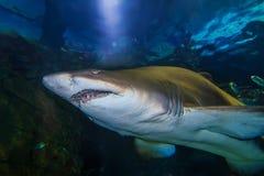 Tiger san shark. Tiger sand shark in turkuazoo aquarium in Istanbul. Shark with big jaws in ocean stock images