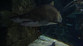Tiger sand shark stock video footage