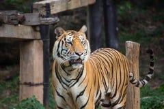Tiger in seinem natürlichen Lebensraum, Thailand lizenzfreies stockbild