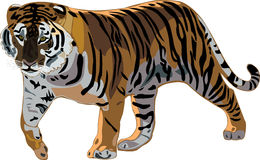 Tiger Series _ Siberian Tiger. Siberian tiger is the world's largest tiger, fierce and beautiful Royalty Free Stock Photography