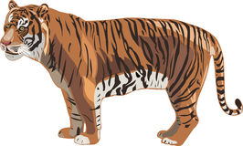 Tiger Series _ Sumatran Tiger Royalty Free Stock Images