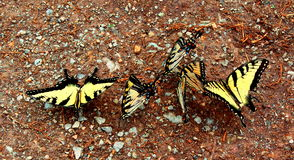 Tiger Shallowtails Fotografia Stock Libera da Diritti