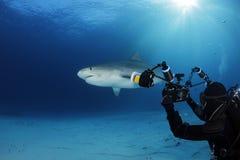 Tiger Shark stockfoto