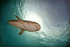 Tiger Shark Stock Photo
