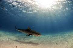Tiger Shark. Patrolling the waters North of Grand Bahama