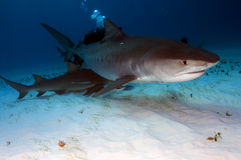 Tiger Shark. A tiger shark in search of it's next meal stock photo