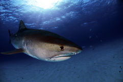 Tiger Shark Royalty Free Stock Photo