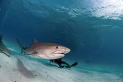 Tiger Shark. A tiger shark in the Northern Bahamas royalty free stock image