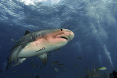 Tiger Shark. A tiger shark on the prowl in the Bahamas royalty free stock photography