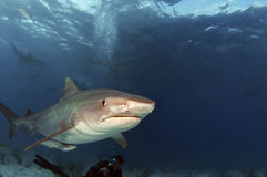Tiger Shark. A tiger shark swimming over the top of a diver royalty free stock photo