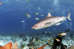 Tiger Shark. A tiger shark seems to be inspecting the pack of lemon sharks on the bottom stock image
