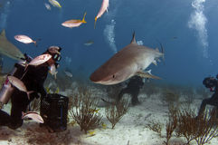 Tiger Shark. A hungry tiger shark looking for a handout stock photos