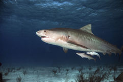 Tiger Shark. A female tiger shark displaying mating scars on her flanks and gills stock photography