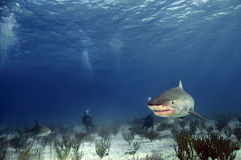 Tiger Shark. A tiger shark swims in the warm waters of the Bahamas stock images