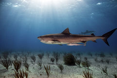 Tiger Shark. Patrolling the waters of the Bahamas royalty free stock photography