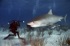 Tiger Shark. Patrolling the waters of the Bahamas royalty free stock photo