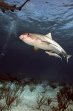 Tiger Shark. A tiger shark searches the bottom for food royalty free stock photography