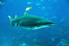 Tiger shark. Underwater image of a tiger shark and fish stock image