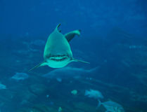 Tiger Shark. Head on view of a shark approaching Stock Images
