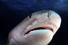 Tiger Shark. A close up of a tiger shark stock image