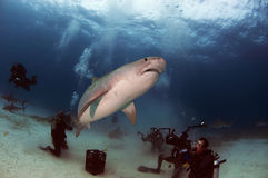 Tiger Shark. A tiger shark swims over a group of divers stock photo
