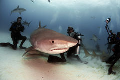 Tiger Shark. A group of divers photograph and interact with a tiger shark royalty free stock photography