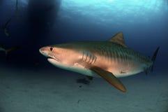 Tiger Shark. A tiger shark cruising the waters of the Bahamas stock photo