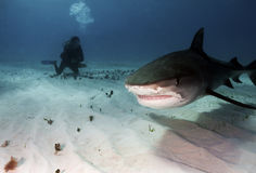Tiger Shark Royalty Free Stock Image