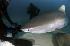 Tiger Shark Imágenes de archivo libres de regalías
