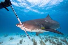 Tiger Shark fotografia stock libera da diritti