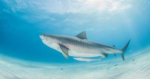 Tiger Shark Imagens de Stock Royalty Free