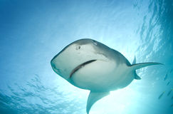 Tiger Shark from Above Stock Photos