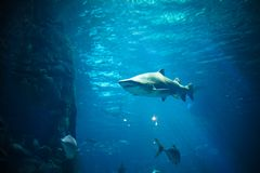 Tiger Shark in aquarium. With blue water royalty free stock photography