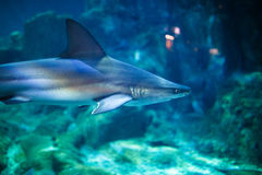 Tiger Shark in aquarium. With selective focus Stock Photo