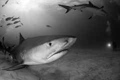 Tiger shark Bahamas. Tiger shark around Bahamas in Tiger Beach royalty free stock images