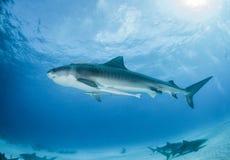 Tiger shark at the Bahamas stock photo