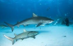 Tiger shark at the Bahamas stock photos
