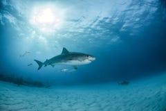 Tiger shark at the Bahamas royalty free stock photos