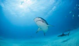 Tiger shark at the Bahamas stock image