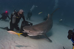 Tiger Shark. A tiger being hand fed by a skilled shark feeder stock photos