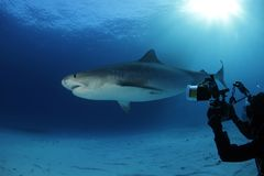 Tiger Shark lizenzfreie stockbilder
